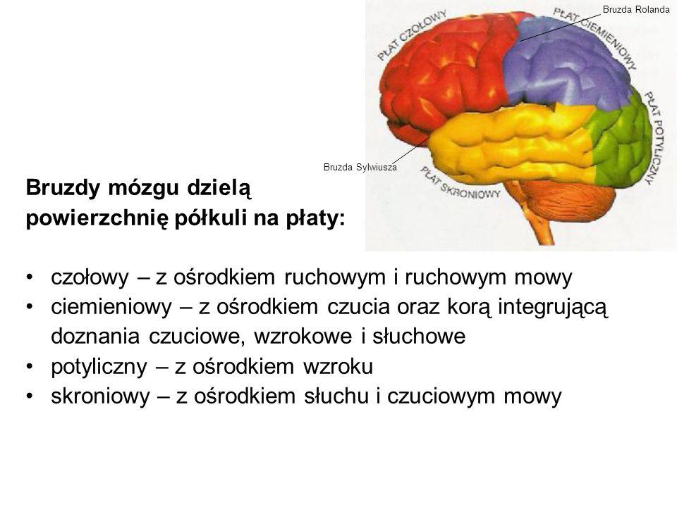 Bruzdy mózgu dzielą powierzchnię półkuli na płaty: czołowy – z ośrodkiem ruchowym i ruchowym mowy ciemieniowy – z ośrodkiem czucia oraz korą integrują