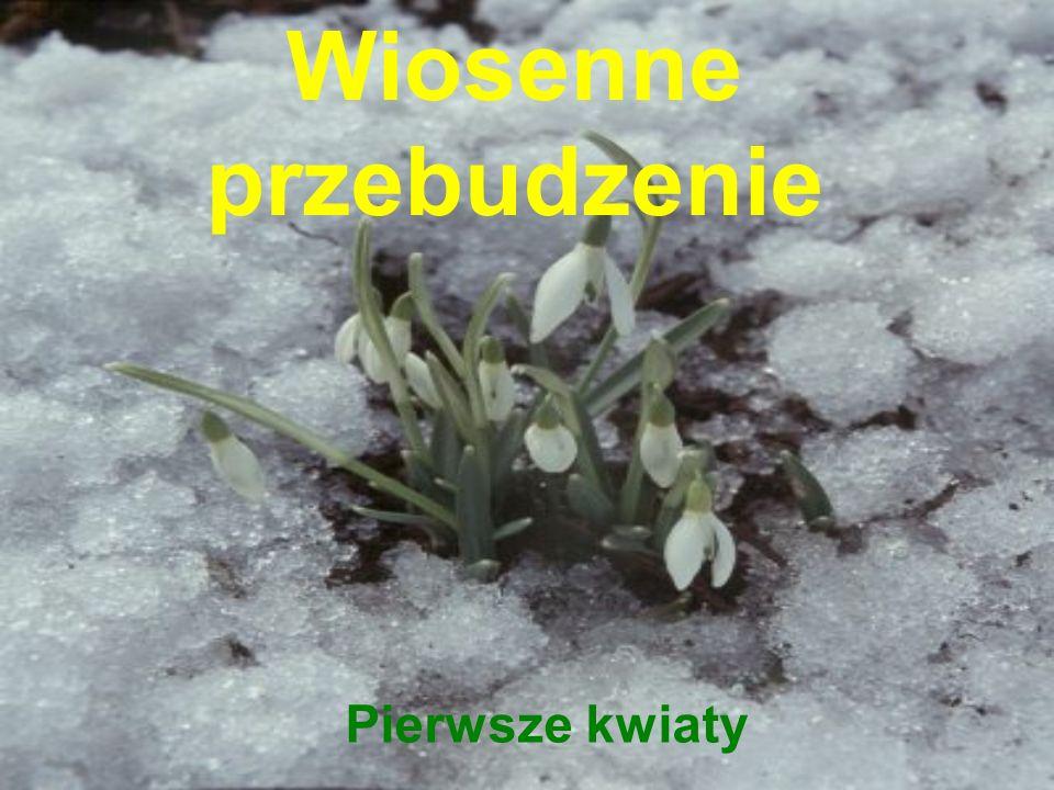 Wiosenne przebudzenie Pierwsze kwiaty