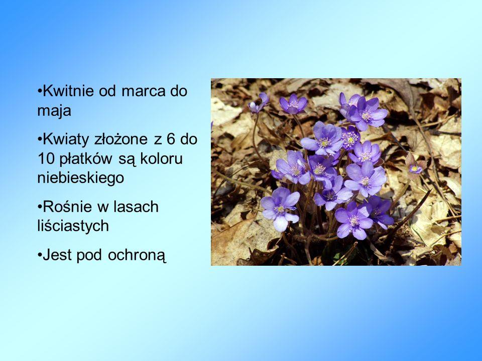 Kwitnie od marca do maja Kwiaty złożone z 6 do 10 płatków są koloru niebieskiego Rośnie w lasach liściastych Jest pod ochroną