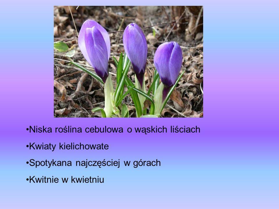 Niska roślina cebulowa o wąskich liściach Kwiaty kielichowate Spotykana najczęściej w górach Kwitnie w kwietniu