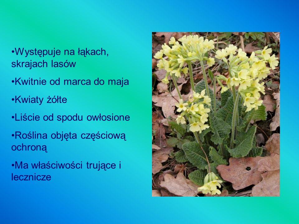 Występuje na łąkach, skrajach lasów Kwitnie od marca do maja Kwiaty żółte Liście od spodu owłosione Roślina objęta częściową ochroną Ma właściwości tr