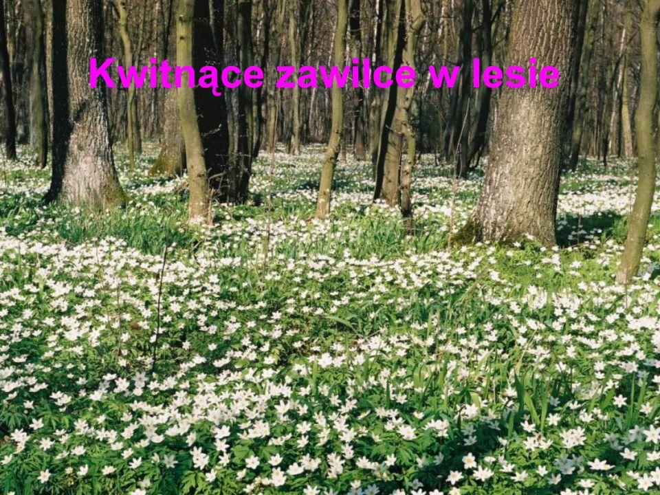 Kwitnące zawilce w lesie