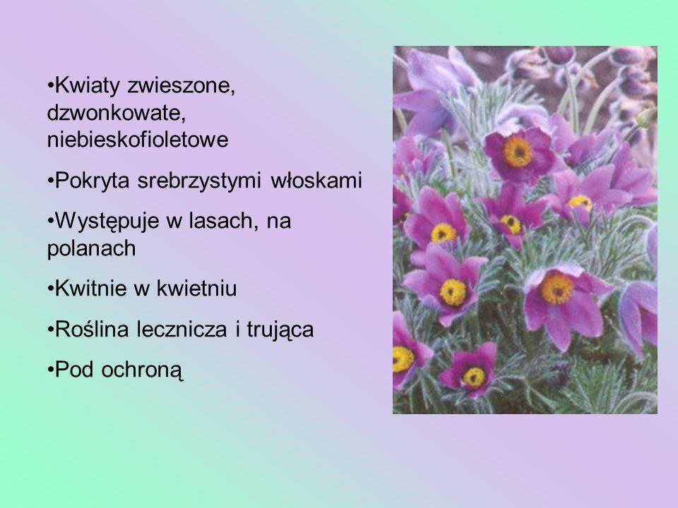 Kwiaty zwieszone, dzwonkowate, niebieskofioletowe Pokryta srebrzystymi włoskami Występuje w lasach, na polanach Kwitnie w kwietniu Roślina lecznicza i