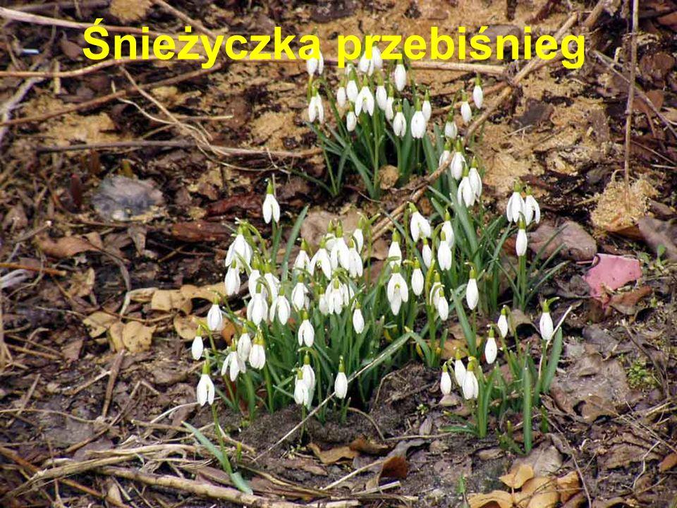 Kwiaty zwieszone, dzwonkowate, niebieskofioletowe Pokryta srebrzystymi włoskami Występuje w lasach, na polanach Kwitnie w kwietniu Roślina lecznicza i trująca Pod ochroną