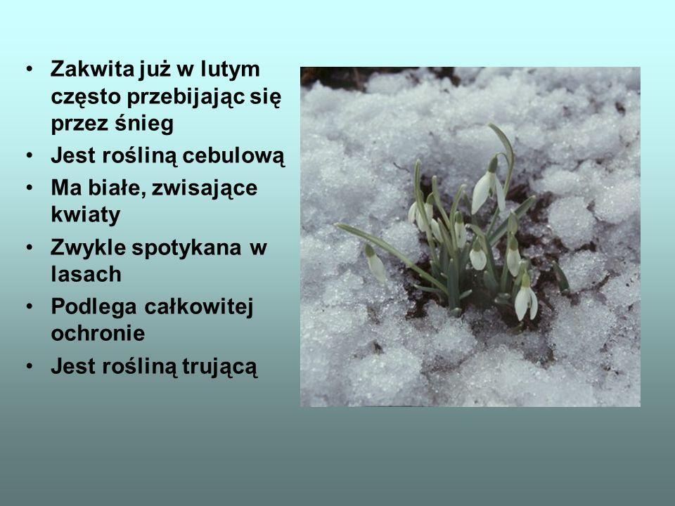 Zakwita już w lutym często przebijając się przez śnieg Jest rośliną cebulową Ma białe, zwisające kwiaty Zwykle spotykana w lasach Podlega całkowitej o