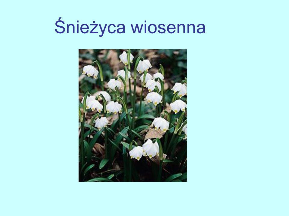 Na łodydze znajduje się 1 lub 2 białe, dzwonkowate, zwisające, pachnące kwiaty Występuje w lasach i na łąkach Kwitnie od marca Jest to roślina trująca Znajduje się pod ochroną