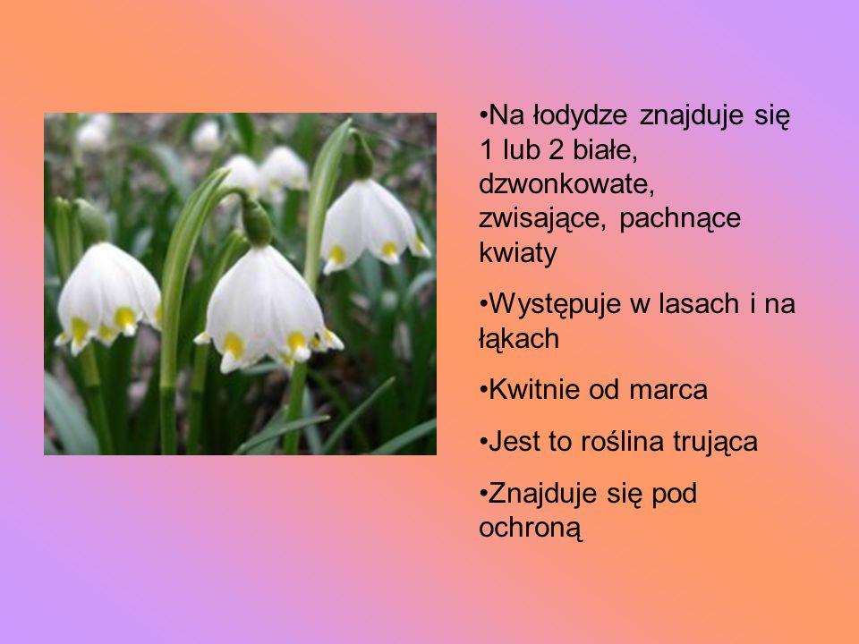 Na łodydze znajduje się 1 lub 2 białe, dzwonkowate, zwisające, pachnące kwiaty Występuje w lasach i na łąkach Kwitnie od marca Jest to roślina trująca