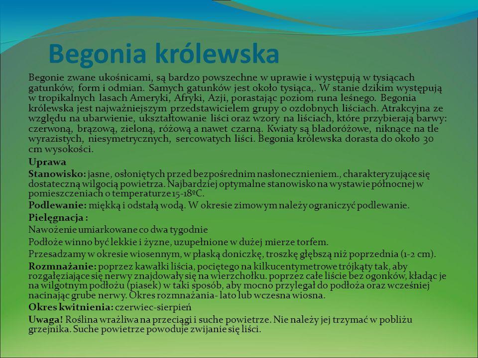 Begonia królewska Begonie zwane ukośnicami, są bardzo powszechne w uprawie i występują w tysiącach gatunków, form i odmian.
