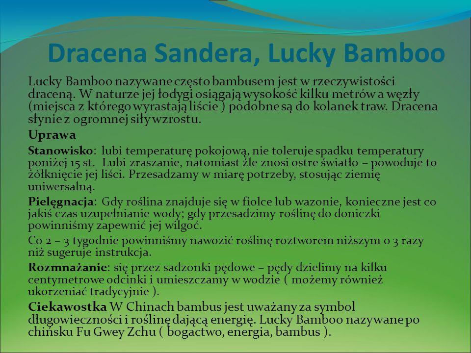 Dracena Sandera, Lucky Bamboo Lucky Bamboo nazywane często bambusem jest w rzeczywistości draceną.