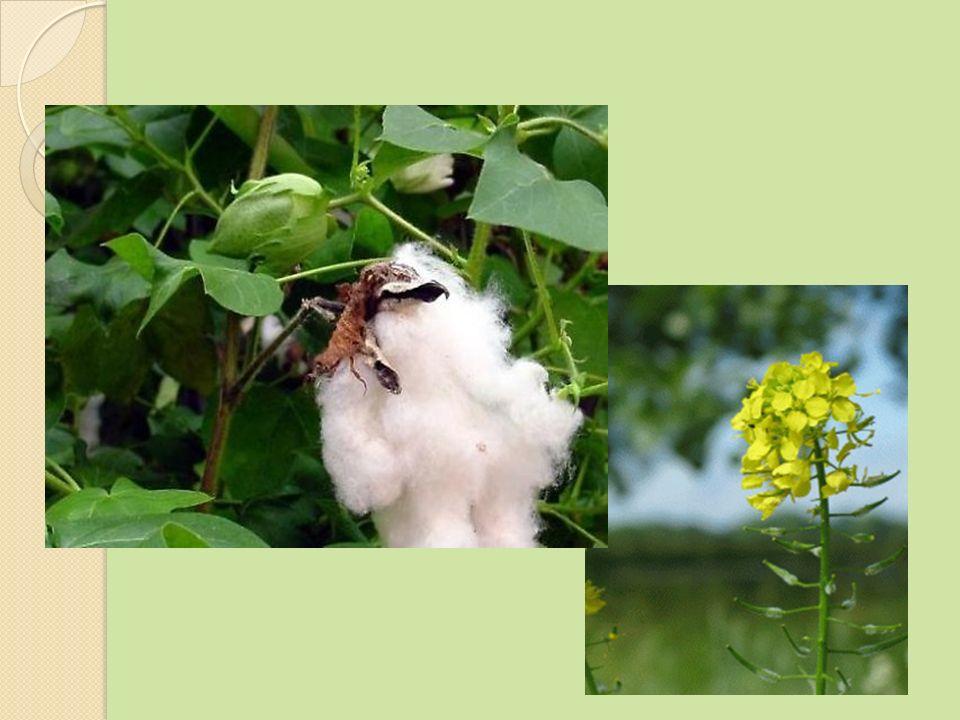W Polsce nie uprawia się roślin transgenicznych.