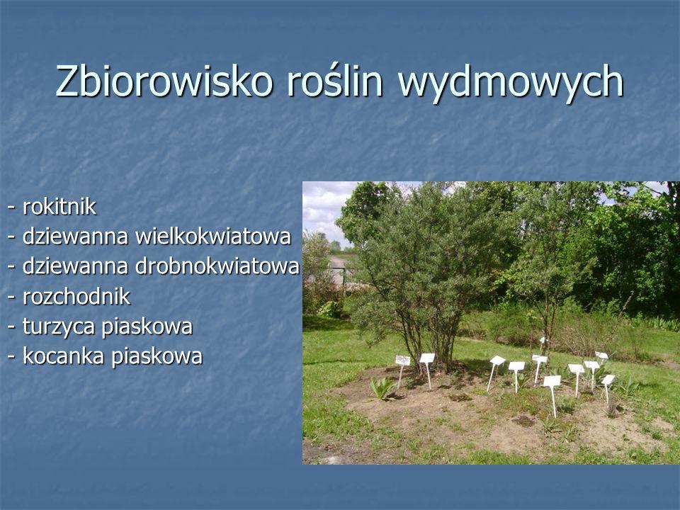 Zbiorowisko roślin wydmowych - rokitnik - dziewanna wielkokwiatowa - dziewanna drobnokwiatowa - rozchodnik - turzyca piaskowa - kocanka piaskowa