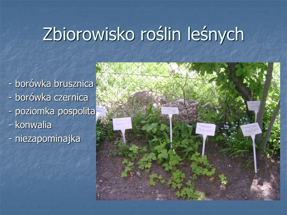 Zbiorowisko roślin leśnych - borówka brusznica - borówka czernica - poziomka pospolita - konwalia - niezapominajka