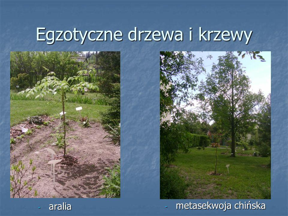 Egzotyczne drzewa i krzewy - metasekwoja chińska - aralia