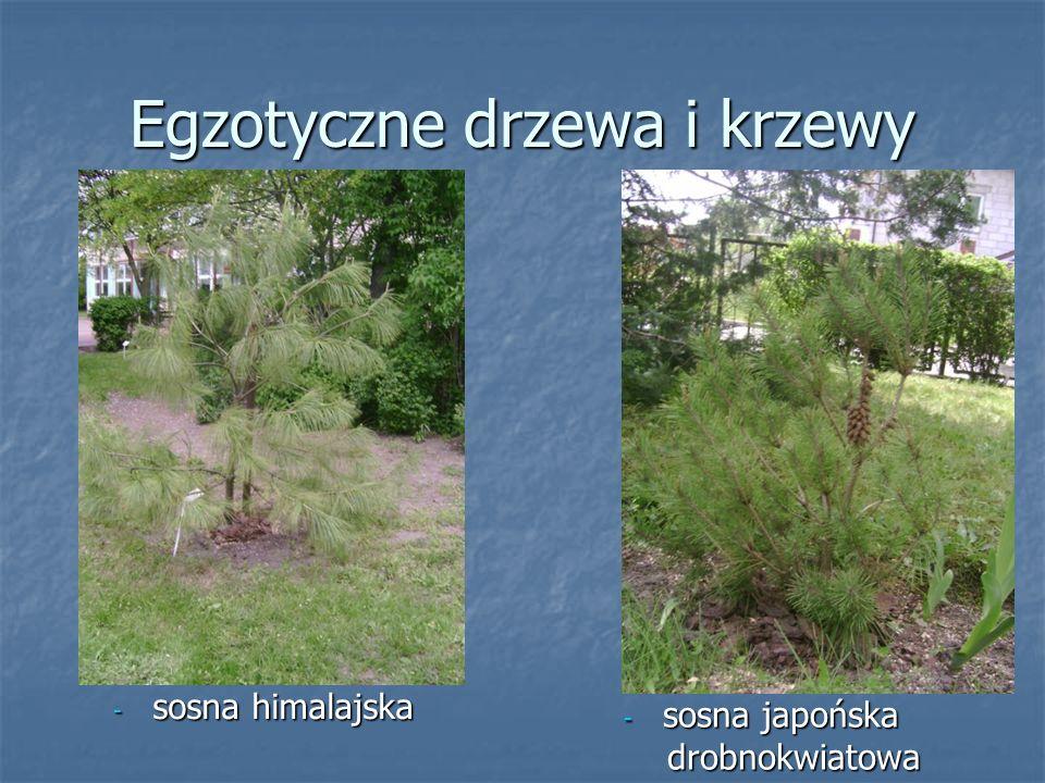 - sosna japońska drobnokwiatowa drobnokwiatowa Egzotyczne drzewa i krzewy - sosna himalajska