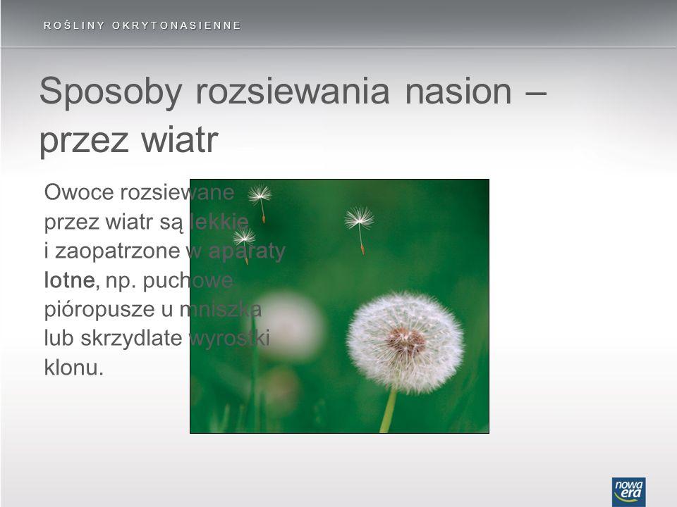 Sposoby rozsiewania nasion – przez wiatr ROŚLINY OKRYTONASIENNE Owoce rozsiewane przez wiatr są lekkie i zaopatrzone w aparaty lotne, np. puchowe piór