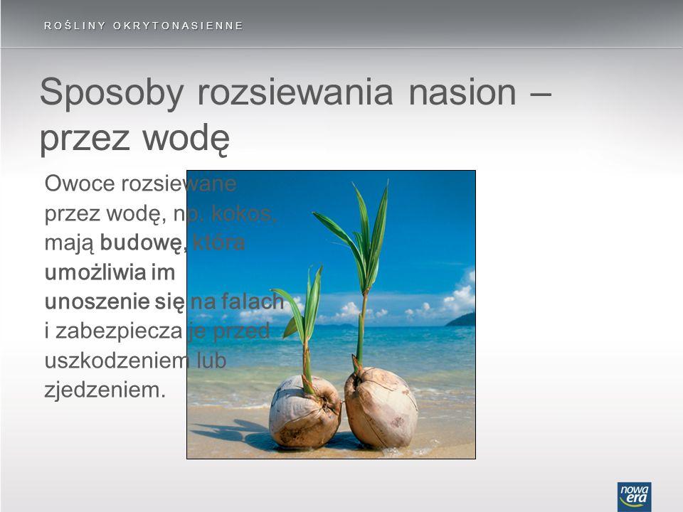 ROŚLINY OKRYTONASIENNE Owoce rozsiewane przez wodę, np. kokos, mają budowę, która umożliwia im unoszenie się na falach i zabezpiecza je przed uszkodze