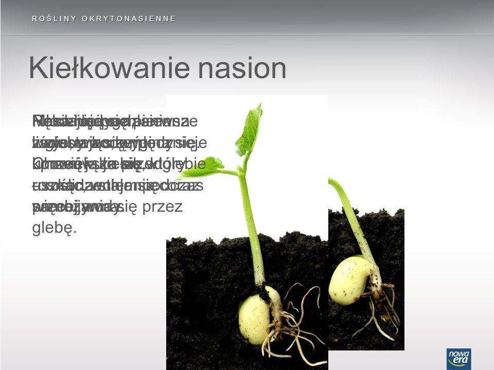 ROŚLINY OKRYTONASIENNE Kiełkowanie nasion Nasienie pochłania z gleby wodę, pęcznieje i powiększa się. Pęka łupina nasienna i wysuwa się młody korzeń –