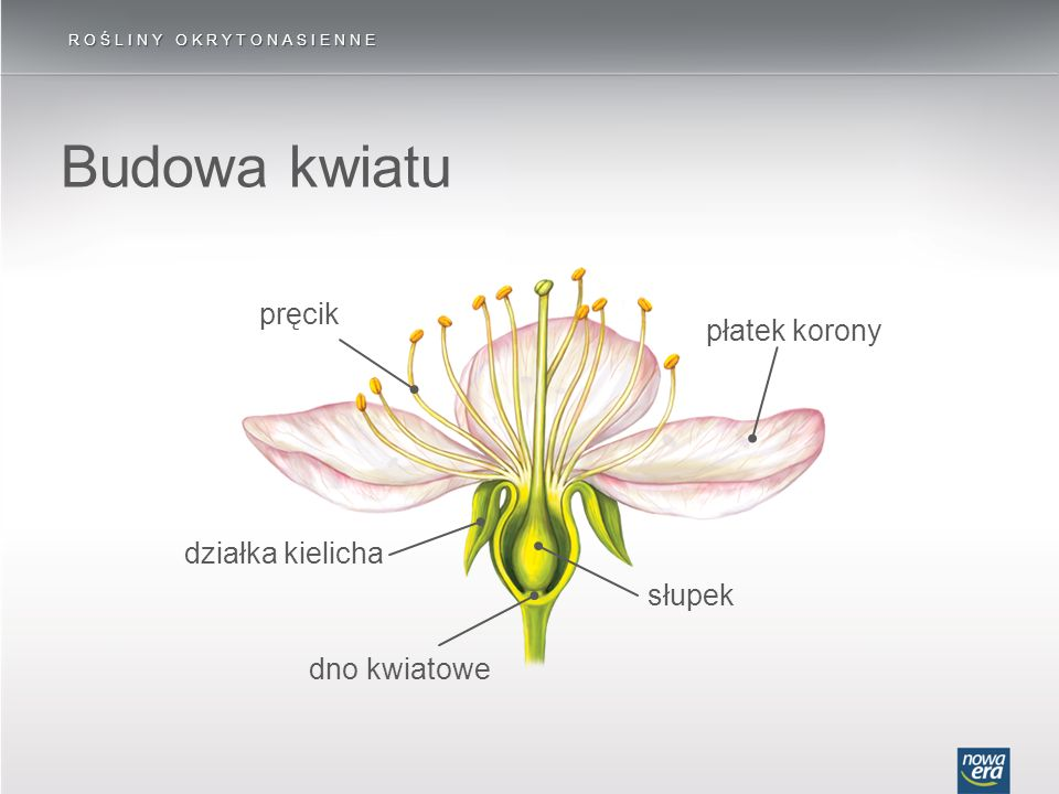 Budowa kwiatu ROŚLINY OKRYTONASIENNE płatek korony działka kielicha dno kwiatowe słupek pręcik