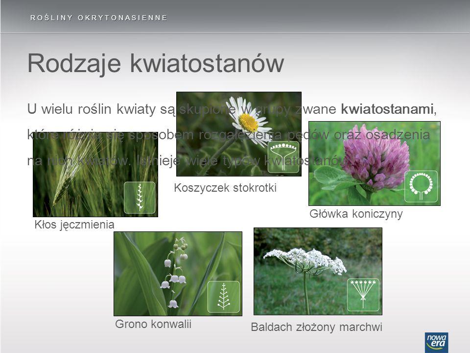 Rodzaje kwiatostanów ROŚLINY OKRYTONASIENNE Baldach złożony marchwi Koszyczek stokrotki Główka koniczynyGrono konwaliiKłos jęczmienia U wielu roślin k