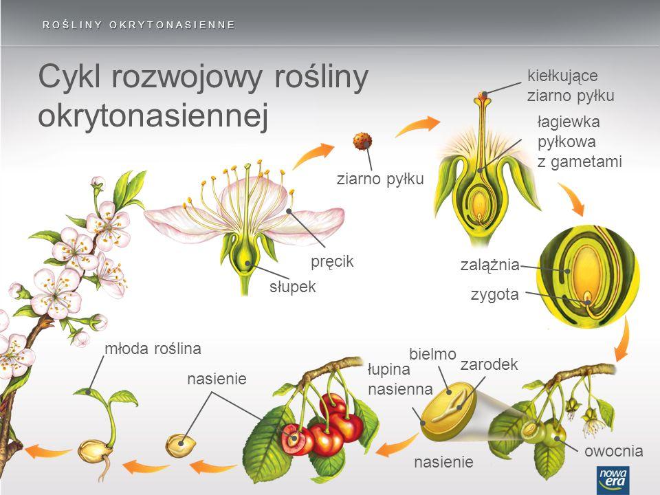 ROŚLINY OKRYTONASIENNE Cykl rozwojowy rośliny okrytonasiennej słupek pręcik ziarno pyłku kiełkujące ziarno pyłku łagiewka pyłkowa z gametami owocnia n