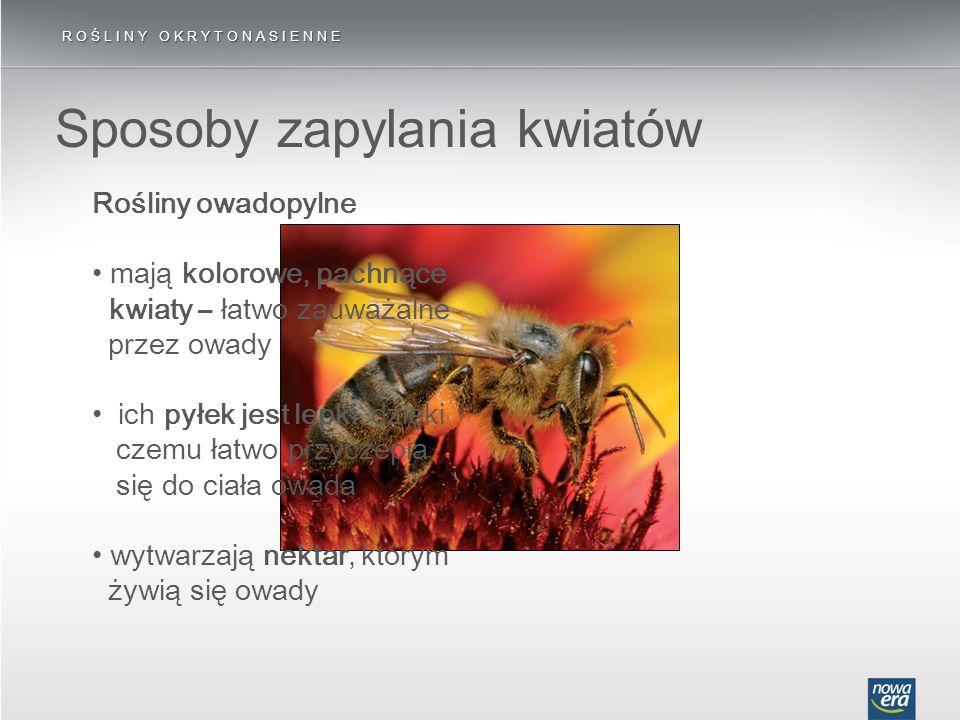 ROŚLINY OKRYTONASIENNE Sposoby zapylania kwiatów Rośliny owadopylne mają kolorowe, pachnące kwiaty – łatwo zauważalne przez owady ich pyłek jest lepki
