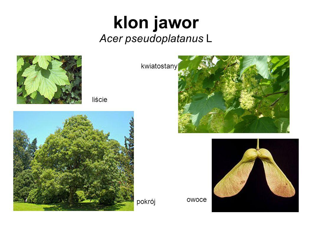 klon jawor Acer pseudoplatanus L liście kwiatostany owoce pokrój