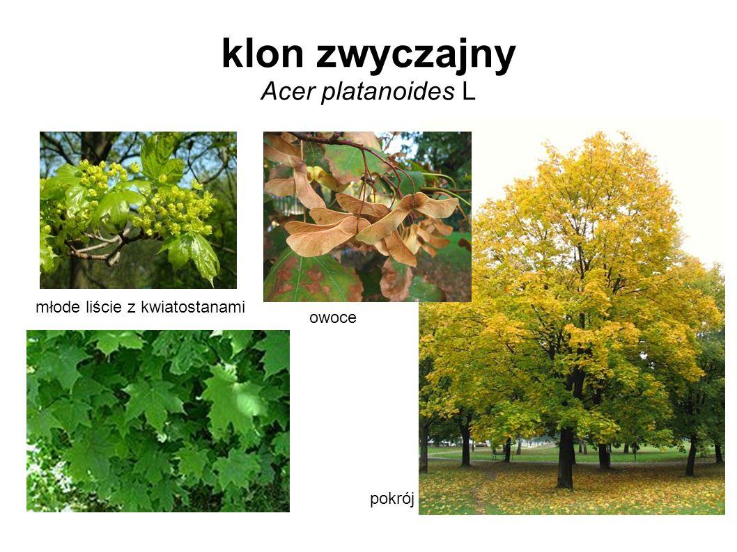 klon zwyczajny Acer platanoides L młode liście z kwiatostanami owoce pokrój