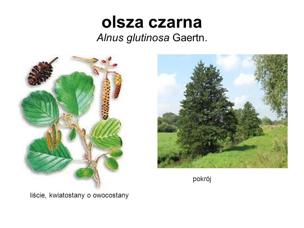 olsza czarna Alnus glutinosa Gaertn. liście, kwiatostany o owocostany pokrój