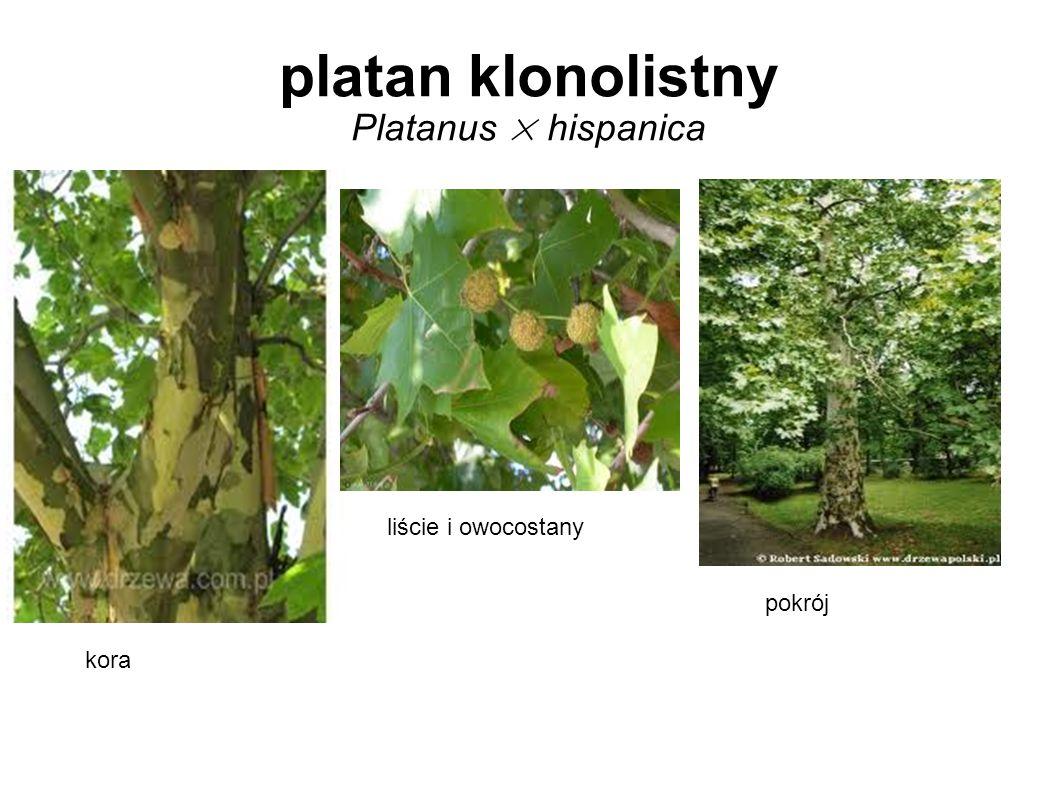 platan klonolistny Platanus × hispanica kora pokrój liście i owocostany