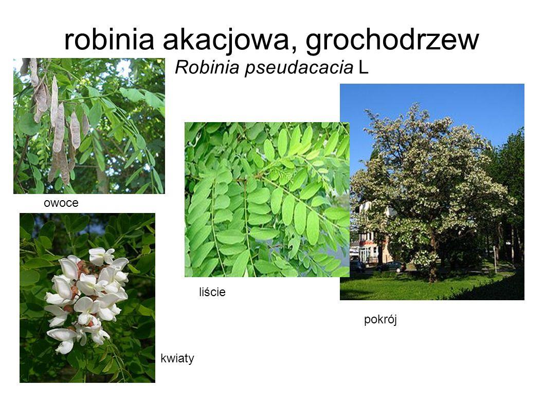 robinia akacjowa, grochodrzew Robinia pseudacacia L owoce kwiaty liście pokrój
