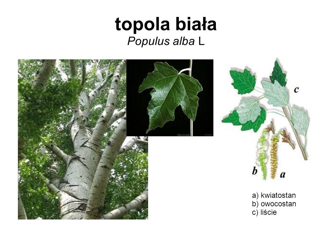 topola biała Populus alba L a) kwiatostan b) owocostan c) liście