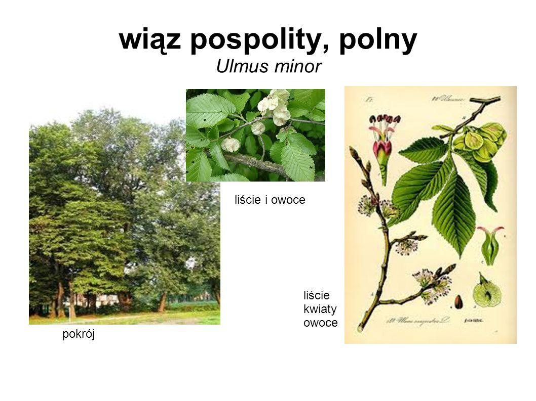 wiąz pospolity, polny Ulmus minor pokrój liście i owoce liście kwiaty owoce