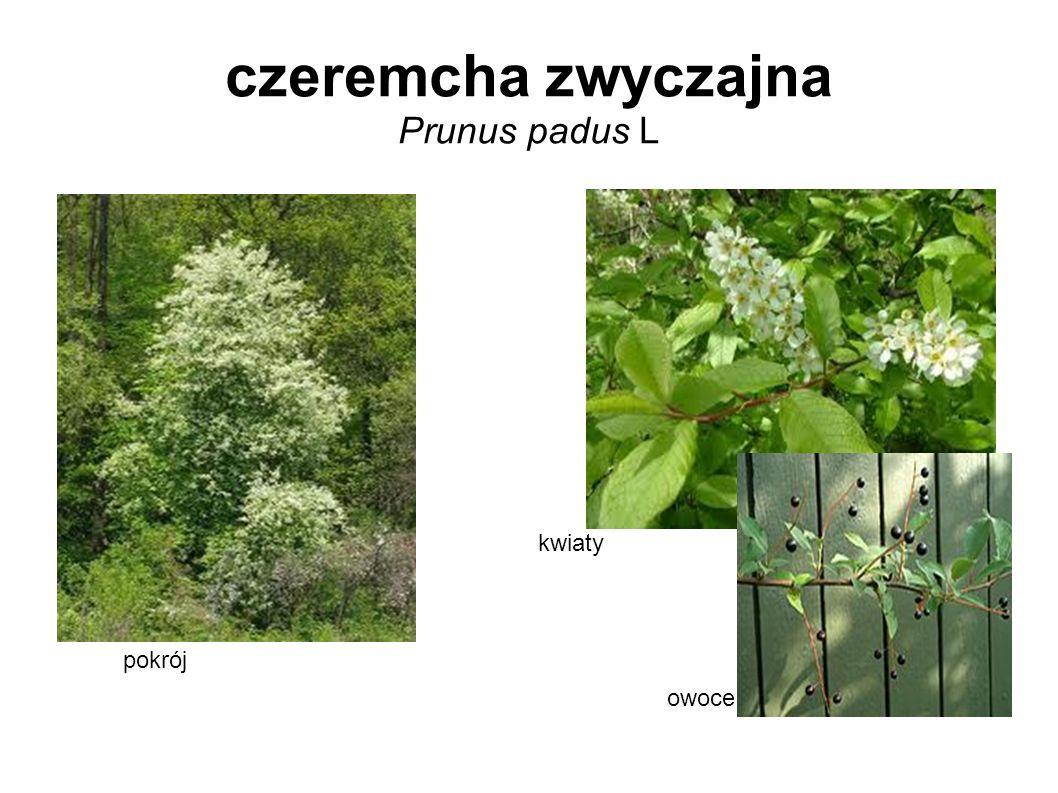 czeremcha zwyczajna Prunus padus L pokrój kwiaty owoce
