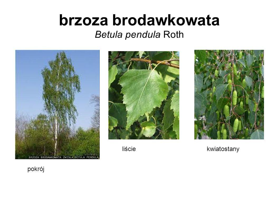 brzoza brodawkowata Betula pendula Roth pokrój liściekwiatostany