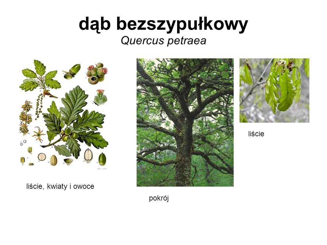 dąb bezszypułkowy Quercus petraea liście, kwiaty i owoce pokrój liście