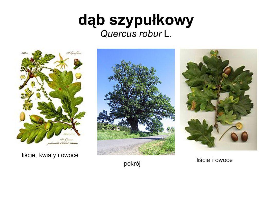 dąb szypułkowy Quercus robur L. liście, kwiaty i owoce pokrój liście i owoce