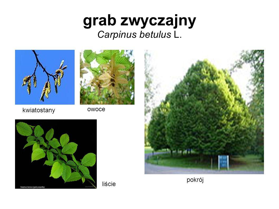 grab zwyczajny Carpinus betulus L. kwiatostany owoce liście pokrój