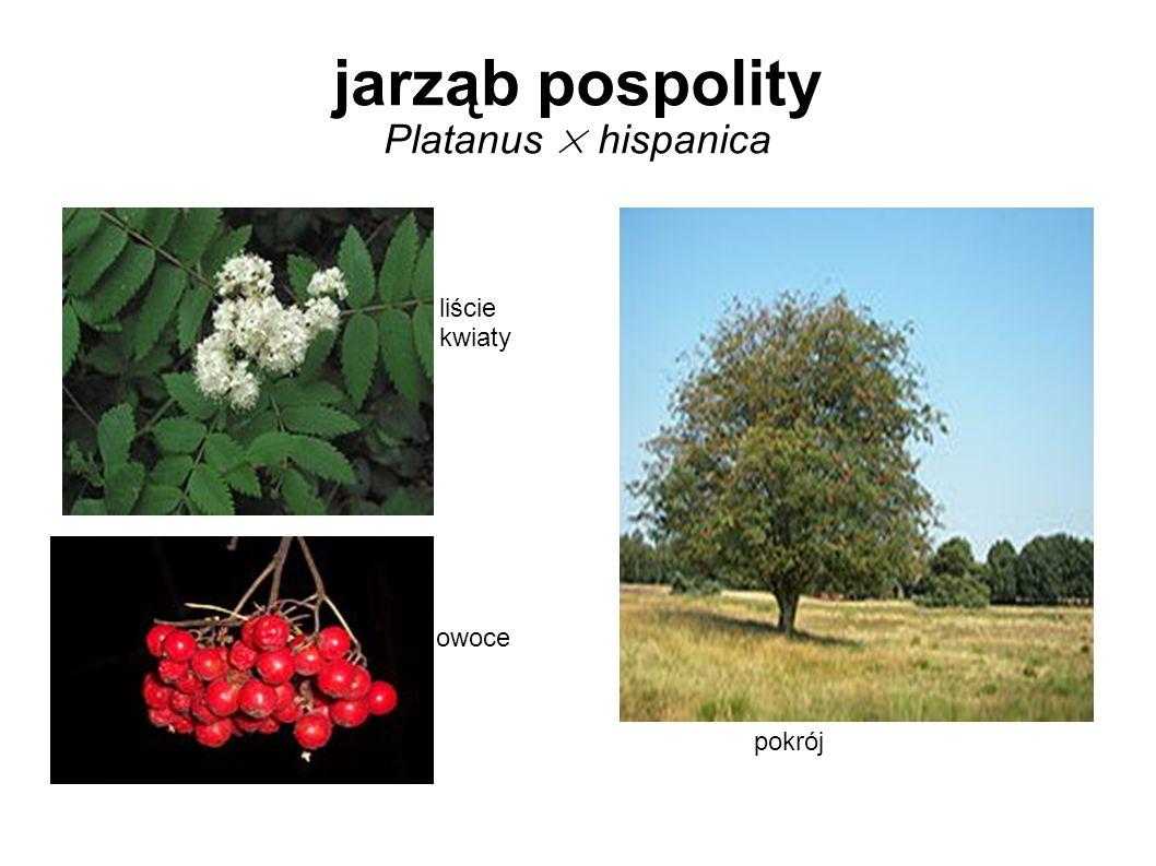 jarząb pospolity Platanus × hispanica liście kwiaty owoce pokrój