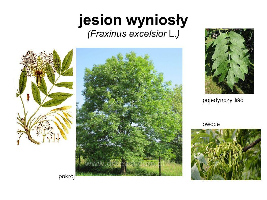 jesion wyniosły (Fraxinus excelsior L.) pokrój pojedynczy liść owoce