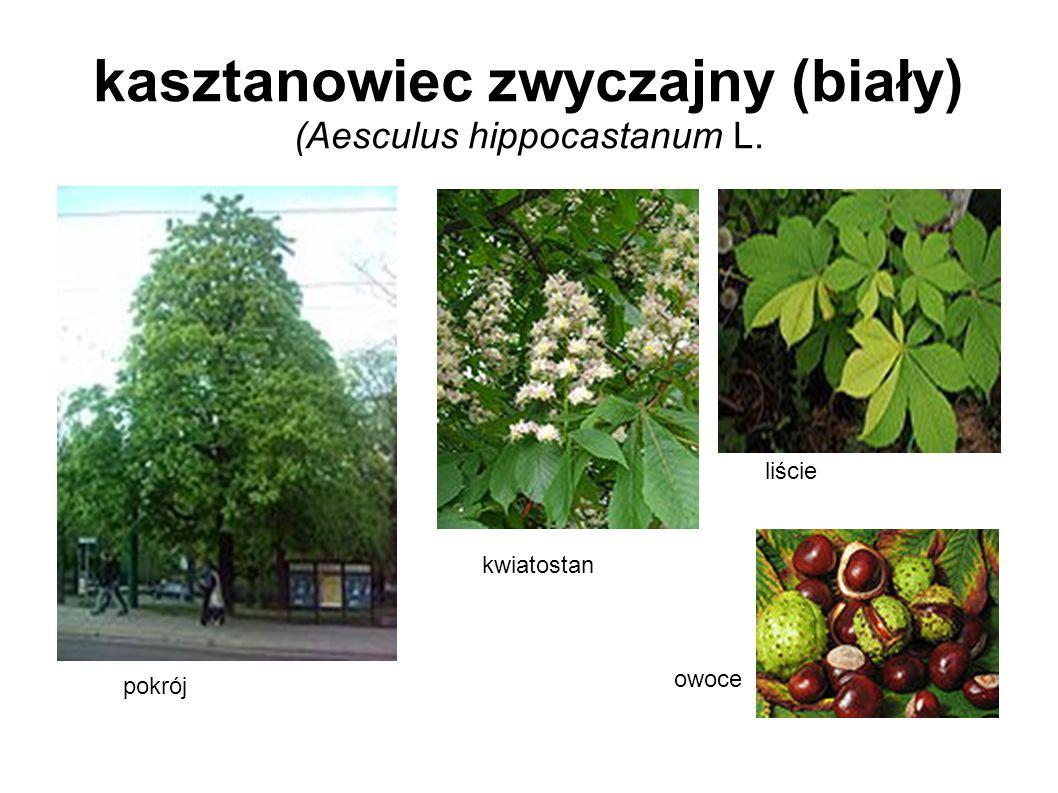 kasztanowiec zwyczajny (biały) (Aesculus hippocastanum L. pokrój kwiatostan liście owoce