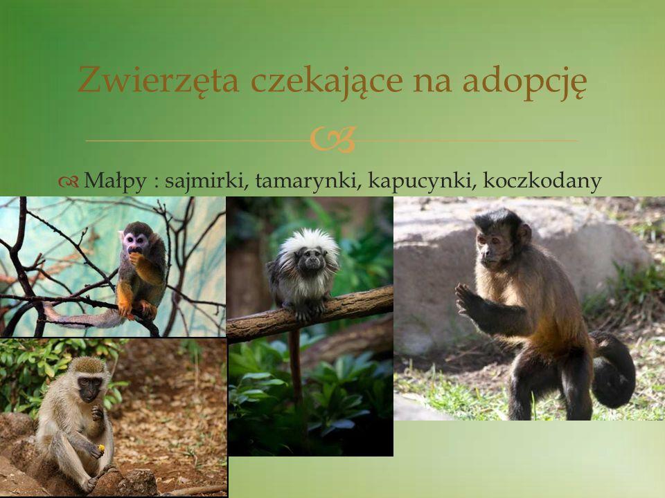 Małpy : sajmirki, tamarynki, kapucynki, koczkodany Zwierzęta czekające na adopcję