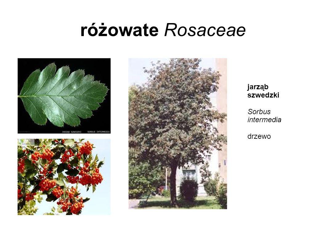 różowate Rosaceae jarząb szwedzki Sorbus intermedia drzewo