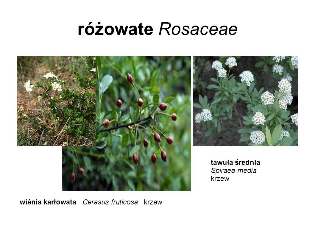 różowate Rosaceae wiśnia karłowata Cerasus fruticosa krzew tawuła średnia Spiraea media krzew