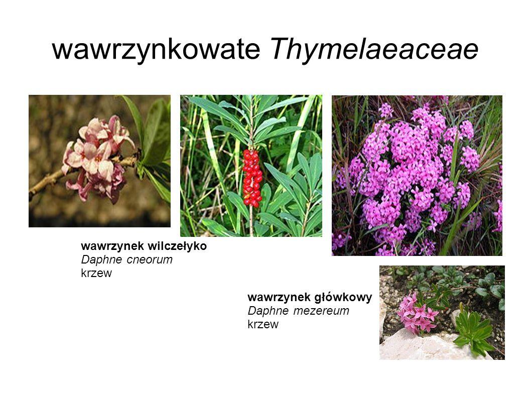 wawrzynkowate Thymelaeaceae wawrzynek wilczełyko Daphne cneorum krzew wawrzynek główkowy Daphne mezereum krzew