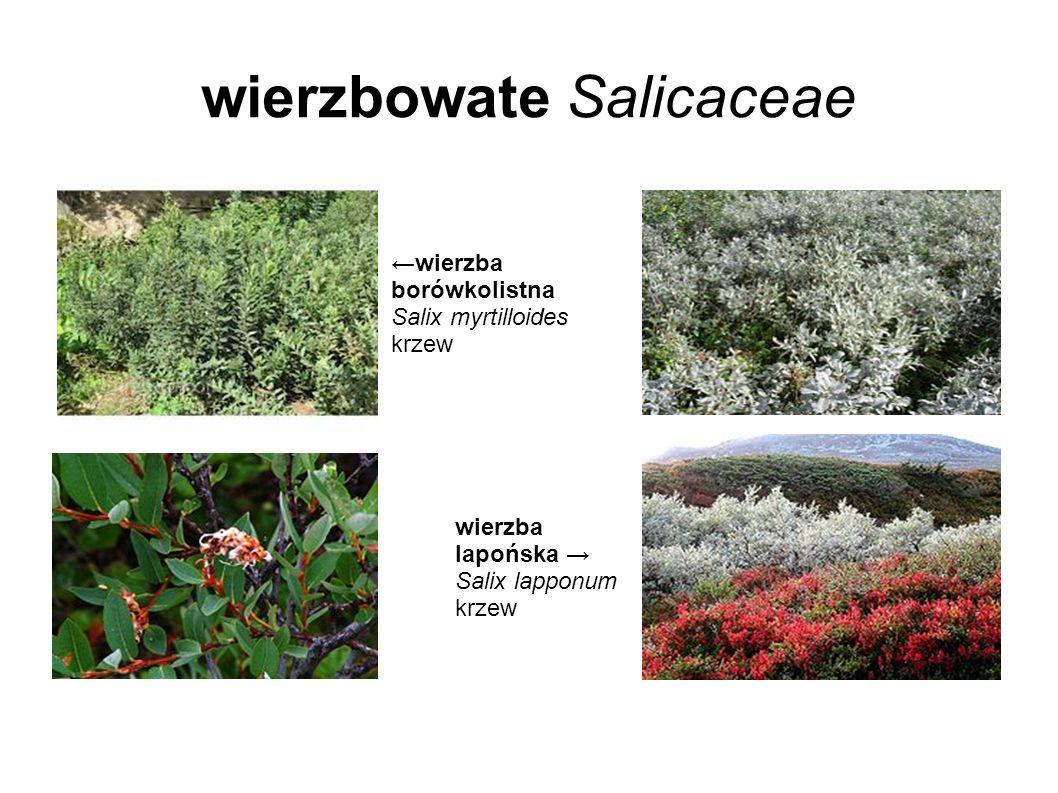 wierzbowate Salicaceae wierzba borówkolistna Salix myrtilloides krzew wierzba lapońska Salix lapponum krzew