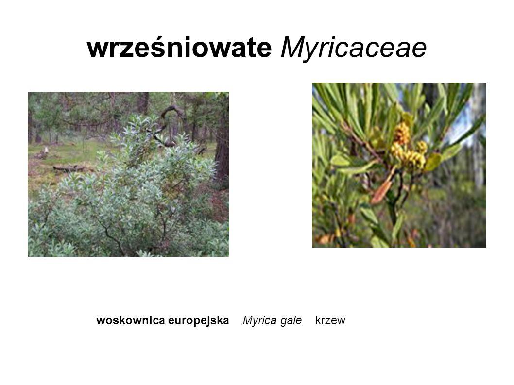 wrześniowate Myricaceae woskownica europejska Myrica gale krzew