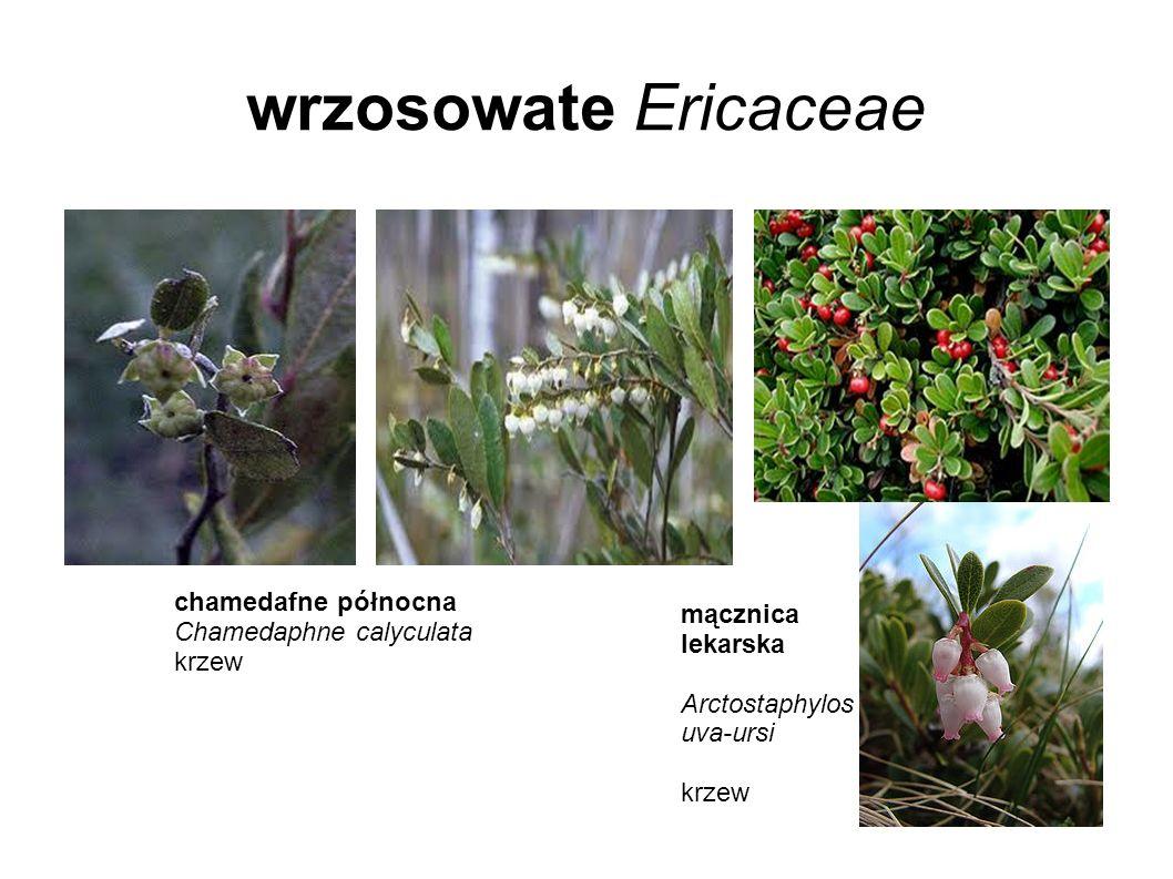 wrzosowate Ericaceae chamedafne północna Chamedaphne calyculata krzew mącznica lekarska Arctostaphylos uva-ursi krzew