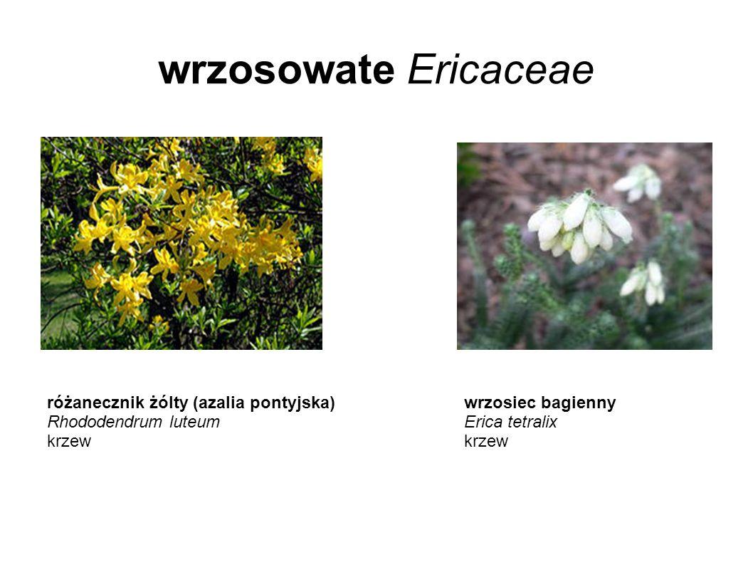 wrzosowate Ericaceae różanecznik żólty (azalia pontyjska) Rhododendrum luteum krzew wrzosiec bagienny Erica tetralix krzew