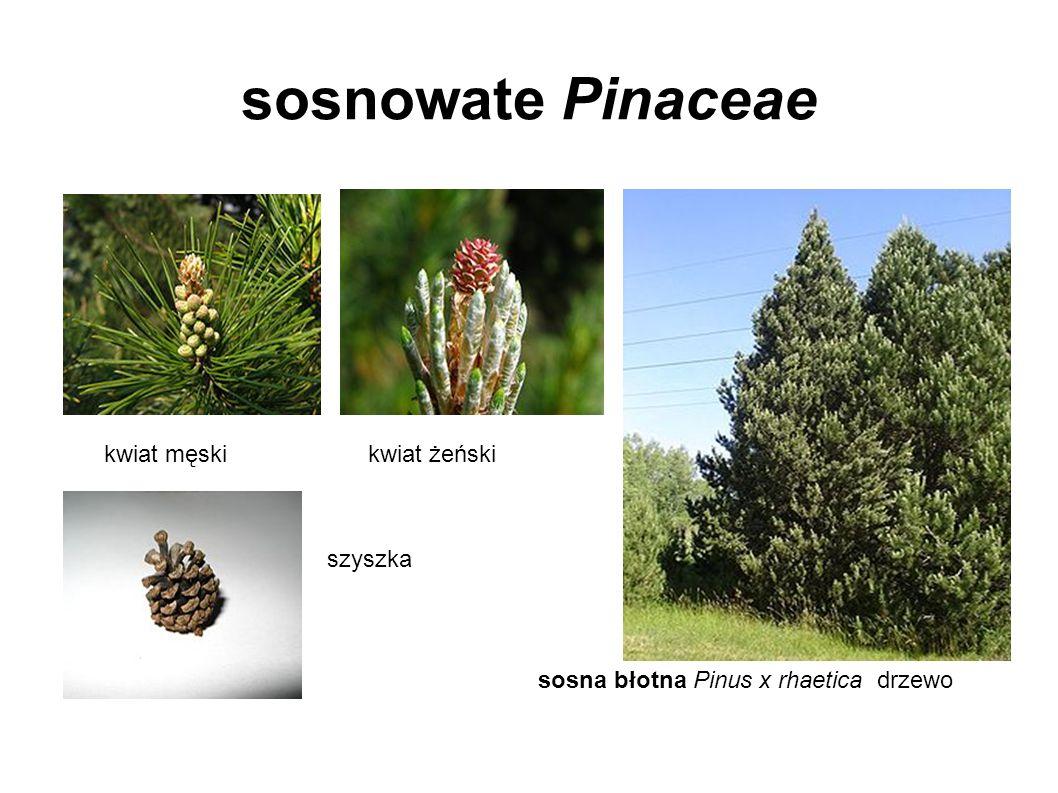 sosnowate Pinaceae kwiat męskikwiat żeński szyszka sosna błotna Pinus x rhaetica drzewo