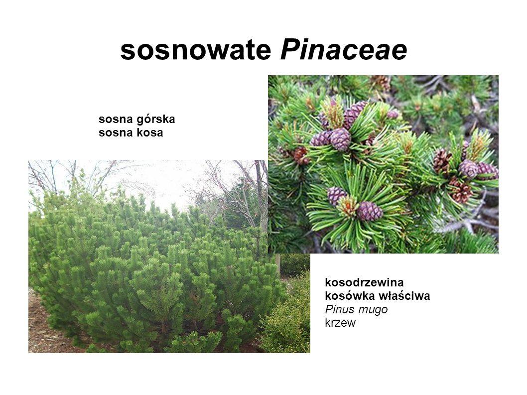 sosnowate Pinaceae kosodrzewina kosówka właściwa Pinus mugo krzew sosna górska sosna kosa